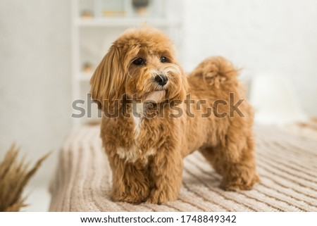 Fluffy toy poodle stand on bed with brown cover. The portrait of ginger dog with yellow hairpin