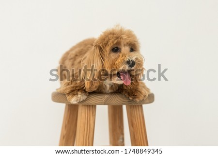Toy poodle lying on wood chair and show tongue in camera. The portrait of ginger dog