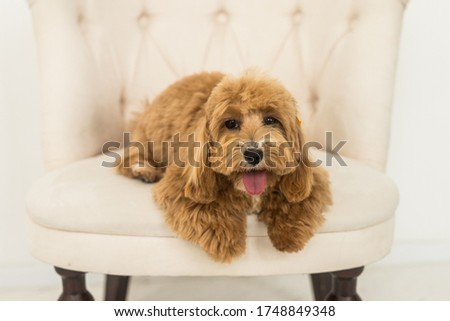Toy poodle lying on white armchair and show tongue in camera. The portrait of ginger dog