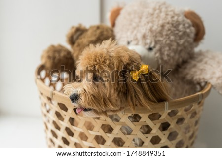 Toy poodle sit on brown basket and look away. The portrait of ginger dog