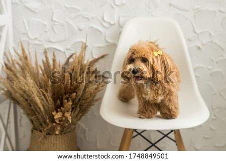 Toy poodle stand on white chair and show tongue in camera. The portrait of ginger dog with yellow hairpin