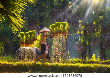 Asian men carrying saplings of jasmine rice to cultivate in rice fields. Father and son are working together to bring rice together. Lifestyle of Southeast Asian people walking through the rice field. Royalty-Free Stock Photo #1748939078
