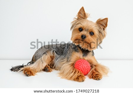 Yorkshire terrier with a ball, Yorkshire terrier with a toy, Happy puppy,Playing Yorkie