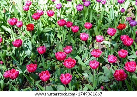 Pink tulip flowers in spring bloom #1749061667