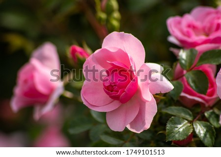 A pink rose close up photo #1749101513