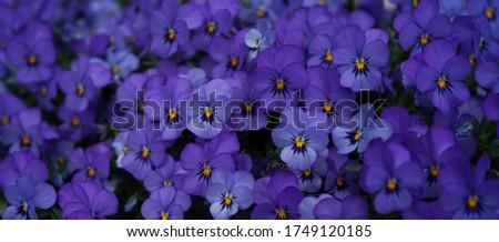violet flowers  pansies floral background