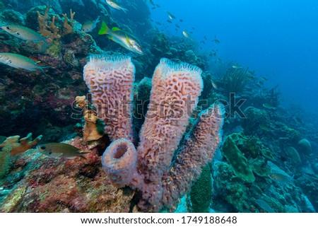 Azure vase sponge (Callyspongia plicifera) Bonaire, Leeward Islands Royalty-Free Stock Photo #1749188648
