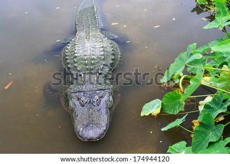 American alligator in tropical lake