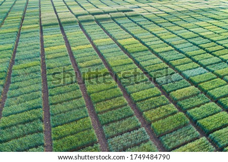 Aerial image of agricultural test plots with different sorts of cereal crops, hybrids, shoot from drone
