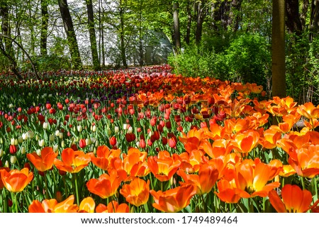 Orange tulip flowers garden view. Orange tulips in bloom #1749489464