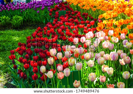 Colorful tulip flowers meadow view. Spring blooming tulips flowers