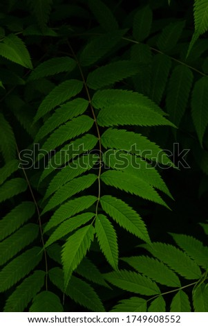 Beautiful green leaves on a dark background, a pattern of leaves, a picture for wallpaper and an interior picture, thin branches, long leaves, leaf texture, close-up, shades of green, from the dark