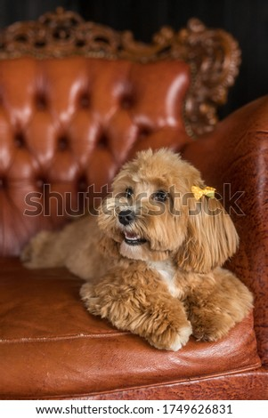 Toy poodle lying on brown sofa and look away. The portrait of ginger dog with yellow hairpin