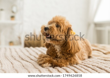 Small toy poodle lying on bed with brown cover. The portrait of ginger dog with yellow hairpin
