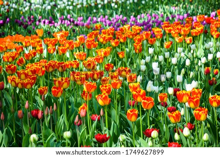 Orange tulips flowers in spring bloom. Colorful tulips flowers. Tulip flowers in Russia #1749627899