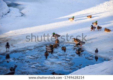 Ducks swim in ice hole. Ducks in winter
