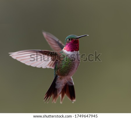 A broad-tailed hummingbird hovers in midair in Colorado