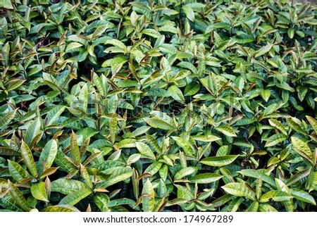 Excoecaria cochinchinensis Lour Plant #174967289