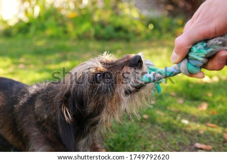 Colorful picture of young dog playing with blue rope toy outdoors, fighting over it with person's hand.