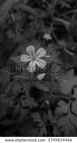 Black and white picture of a pink herb robert flower in the garden.