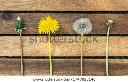 Dandelion's different stages of development in Swedish nature and gardens
