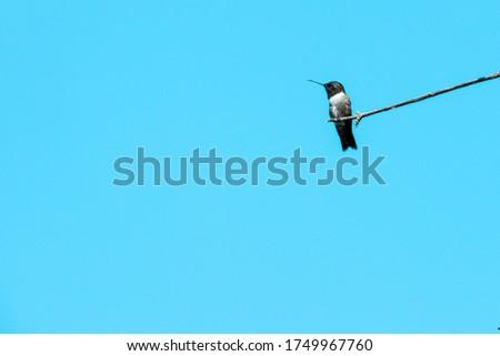 Black chinned hummingbird in Dallas, Texas