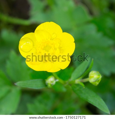 Buttercup yellow flowers on green grass background. Ranunculus acris (meadow buttercup, tall buttercup, giant buttercup). Closeup, selective focus, blurred background #1750127171