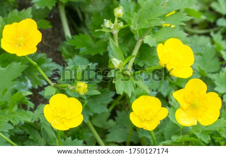 Buttercup yellow flowers on green grass background. Ranunculus acris (meadow buttercup, tall buttercup, giant buttercup). Closeup, selective focus, blurred background #1750127174