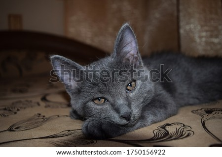 Kitten eyes look. Cute grey kitten #1750156922