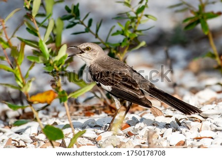 Northern mockingbird stands in the gravel and sings