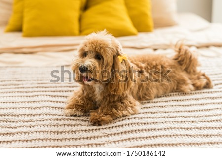 Fluffy toy poodle lying on bed with brown cover. The portrait of ginger dog with yellow hairpin