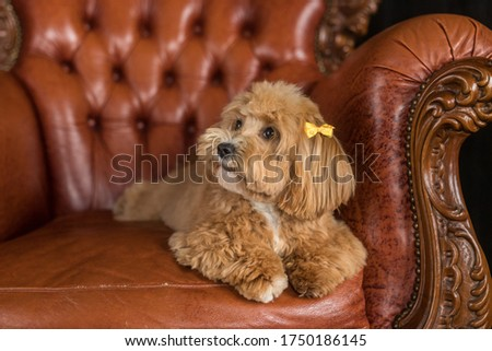 Small toy poodle lying on brown sofa and look away. The portrait of ginger dog with yellow hairpin