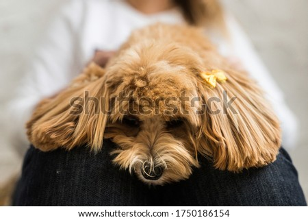 The toy poodle with yellow hairpin lying on the women's lap. The close up portrait of ginger dog