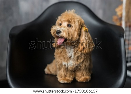 Toy poodle lying on black chair and show tongue to the side. The portrait of ginger dog