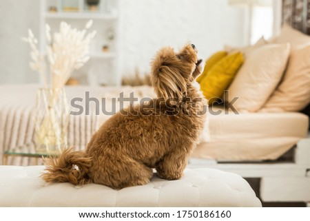 Happy toy poodle sit on white armchair. Side view of ginger dog look up