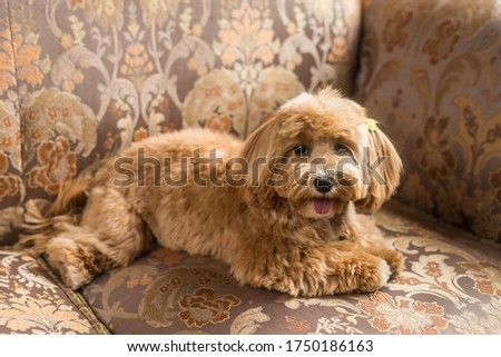 Toy poodle lying on brown sofa and show tongue and muzzle in camera. Close up portrait of ginger dog