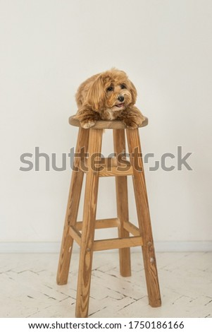 Cute toy poodle lying on wood chair and show tongue in camera. The portrait of ginger dog
