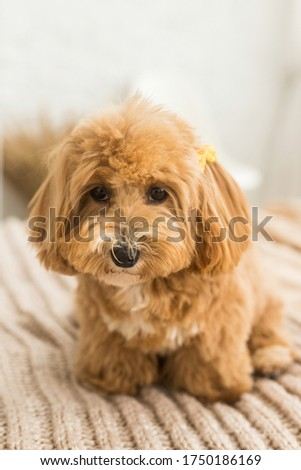 Fluffy toy poodle sit on bed with brown cover. The close up portrait of ginger dog with yellow hairpin