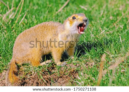 gopher screams in the meadow, closeup, gopher climbed out of the hole on the lawn, fluffy cute gopher sitting on a green meadow on a sunny day
