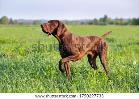 Brown German Shorthaired Pointer. A muscular hunting dog is standing in a point in the field among the green grass. A spring sunny day. Royalty-Free Stock Photo #1750297733