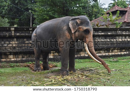 A majestic Tusker/Male Elephant with his tusks waiting to participate to the Perahera #1750318790