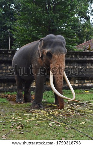 A majestic Tusker/Male Elephant with his tusks waiting to participate to the Perahera #1750318793