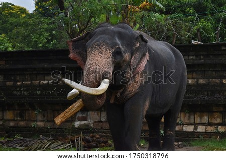 A majestic Tusker/Male Elephant with his tusks waiting to participate to the Perahera #1750318796