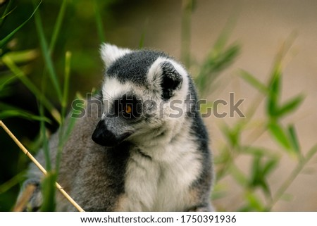 A ring-tailed lemur with orange eyes