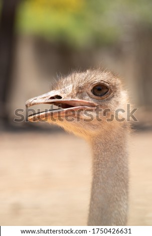Smiling ostrich. ostrich head on blurred background. Common ostrich with open mouth. Wild close up photography on blurred background. Bird head closeup #1750426631