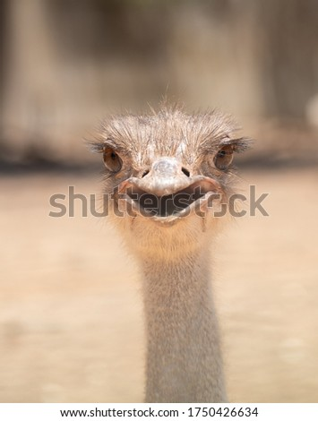 Smiling ostrich. ostrich head on blurred background. Common ostrich with open mouth. Wild close up photography on blurred background. Bird head closeup #1750426634