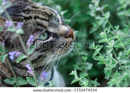 Gray tabby cat sniffing catnip plant with flowers in the summer garden, cats profile with green eyes, red nose and whiskers visible, blurred green background #1750474934