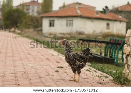 A Beautiful Village And A Rooster