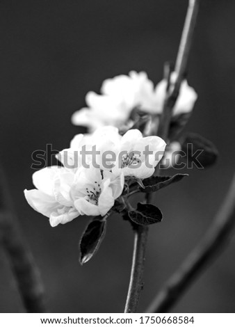 abstract black and white picture with apple blossoms