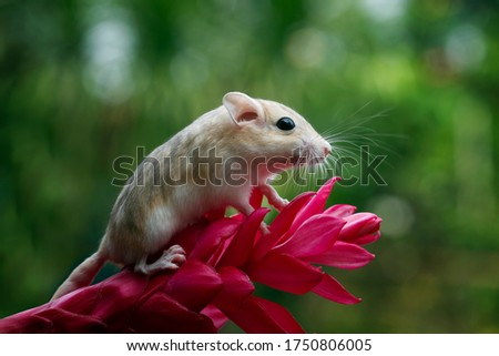 Cute gerbil mouse closeup face, Garbil mouse on flower